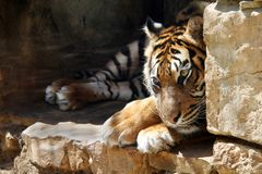 The Ussurian Tiger is sad in captivity at the zoo stock images