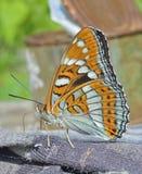 1 ussuriensis populi limenitis бабочки Стоковая Фотография
