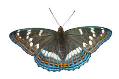 ussuriensis populi limenitis 3 πεταλούδων Στοκ φωτογραφία με δικαίωμα ελεύθερης χρήσης