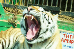 Ussuriisk tiger Royalty Free Stock Photo
