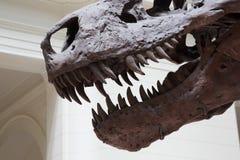 Usta Tyrannosaurus Rex Zdjęcia Royalty Free