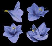Ustalony błękitny Gippeastrum Kwiaty na czarnym odosobnionym tle z ścinek ścieżką zbliżenie Żadny cienie Dla projekta Zdjęcie Stock