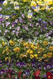 ustaweni kwiaty Zdjęcie Stock