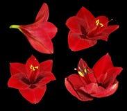 Ustawia czerwonego Gippeastrum Kwiaty na czarnym odosobnionym tle z ścinek ścieżką zbliżenie Żadny cienie Dla projekta Zdjęcia Royalty Free