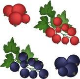 Ustawia czerwonego i czarnego rodzynku jagody na białym tle ilustracji