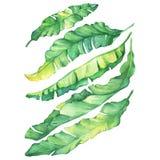 Ustawia egzotycznych tropikalnych banana koloru żółtego i zieleni liście ilustracja wektor