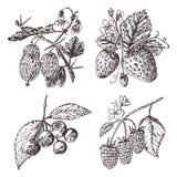 ustawia jagody malinka, czarna jagoda, truskawka, agrest grawerująca ręka rysująca w starym nakreśleniu, rocznika styl wakacje ilustracja wektor
