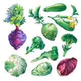 Ustawia, kolekcja świezi warzywa kapusty, zucchini, kalarepy, brokuły i kalafior, ilustracji