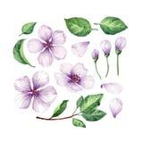 Ustawia, kolekcja Apple kwiaty, płatki i liście odizolowywający na białym tle, royalty ilustracja