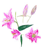 Ustawia leluja kwiaty Zdjęcia Royalty Free