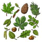 Ustawia liść, acorn, kasztan i ziarna, Wektorowy rocznika kolor grawerujący royalty ilustracja