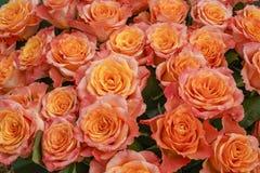 Usted puede casi oler el olor que intoxica de estas rosas amarillo-rosadas magníficas imágenes de archivo libres de regalías