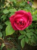 Usted quiere a una Rose fotos de archivo libres de regalías