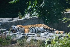 Usti nad Labem, Czech republic - June 30, 2018: Malayan tiger is sleeping in his garden in ZOO of czech city Usti nad Labem royalty free stock photos