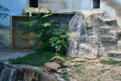 Usti NAD Labem, République Tchèque - 30 juin 2018 : Deux lions de Katanga dorment dans l'ombre de sa maison dans le ZOO de la vil Photo stock