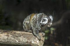 Ustiti & x28; Callithrix jacchus& x29;小猿 库存图片