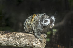 Ustiti (Callithrix jacchus) marmosets. The marmosets of the Brazilian Atlantic forest Stock Image
