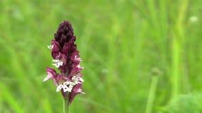 Ustulata bonito selvagem de Orchis da orquídea, detalhe, espécie em vias de extinção, a bilis Karpaty do UNESCO vídeos de arquivo