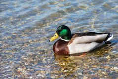 Usual Duck on water. Usual male duck green head over transparent water Royalty Free Stock Photo