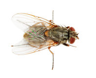Usual fly close up Stock Images