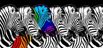 Free Usual & Rainbow Color Zebra Black Background Isolated, Individuality Concept, Stand Out From Crowd, Think Different, Creative Idea Royalty Free Stock Photos - 198320098