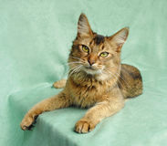 Usual Somali cat Stock Images