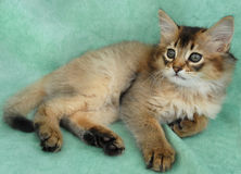 Usual Somali kitten Stock Images