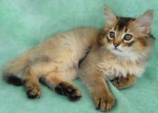 Usual Somali kitten Stock Images