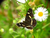 Butterfly and daisy. Usually, butterflies the imago form live about two or three weeks. The record holder for life expectancy is a citron who can live up to a royalty free stock images