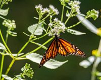 Monarch butterfly drinking nectar from a Eupatorium. stock photos