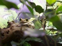Usumbara Peacock Tree Frog Stock Images