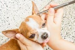 Usunięcie cwelich od psa Zdjęcie Royalty Free