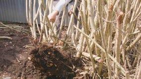 Usuwać drzewo korzenie zbiory