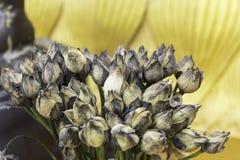 Usycha Lotosowych kwiaty Fotografia Stock