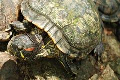 uszaty czerwony tortoise Obraz Royalty Free