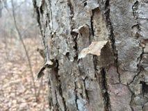 Uszkadzająca drzewna barkentyna, zakończenie Natura w jesieni Obrazy Stock