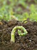 Uszkadzający asparagus fotografia stock