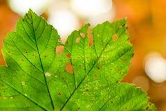 Uszkadzający liść Zdjęcie Royalty Free