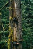 Uszkadzający pojedynczy bagażnik w sosnowym lesie Fotografia Royalty Free