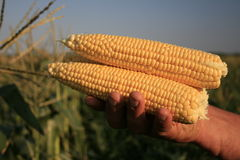 uszy kukurydziane słodkich Obraz Royalty Free