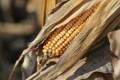 uszy kukurydziany dojrzałe zdjęcie stock