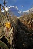 uszy kukurydzy Obrazy Stock