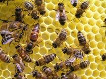 Utérus d'abeille Photo stock