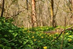 Utöver det vanliga skönhet för dessa blygsamma blommor i skogen, första som blomstrar, arkivbilder
