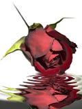 utöver rött rose vatten Arkivbild