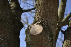 Сut of a tree. Cut branches of a large tree Royalty Free Stock Image