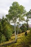 Utah Aspen stockfoto