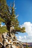 Utah Bristlecone Royalty-vrije Stock Foto's
