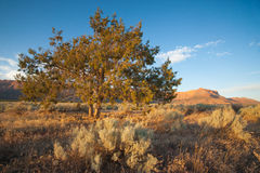 Utah Desert Pinon Tree Royalty Free Stock Image
