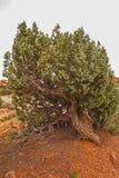 Utah Jałowcowy Juniperus_osteosperma przy Canyonlands Zdjęcia Royalty Free